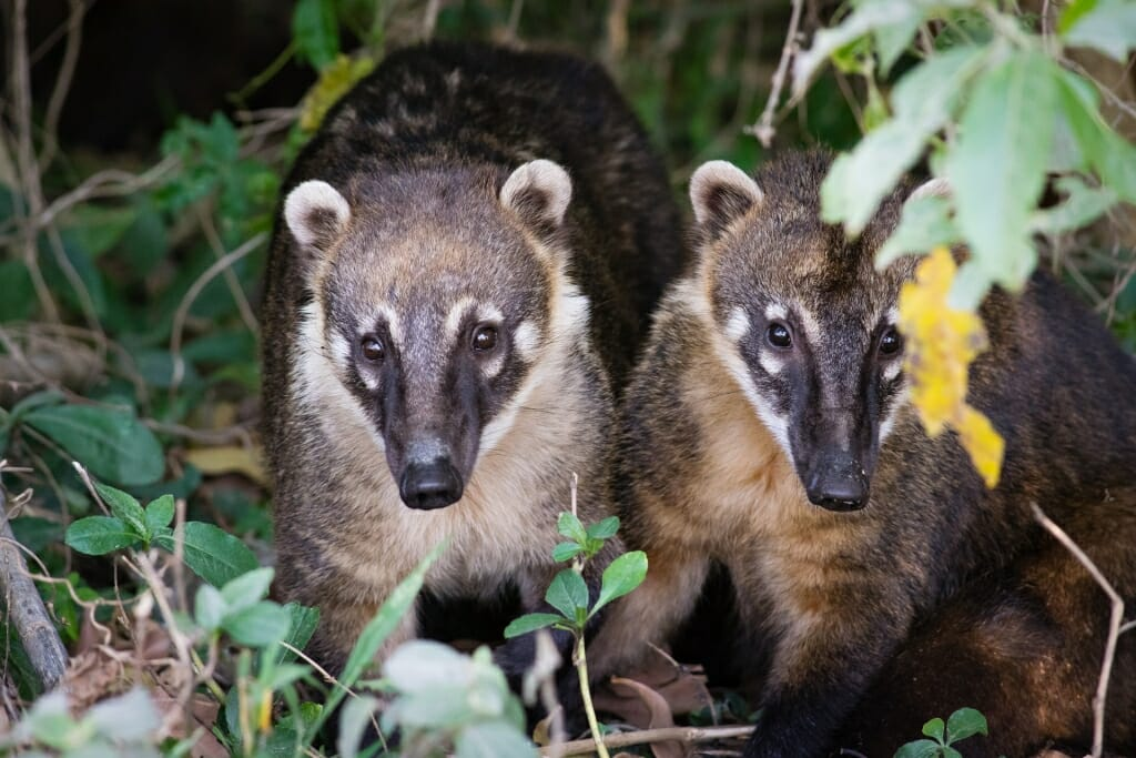 Animals that live in Brazil - South American Coati