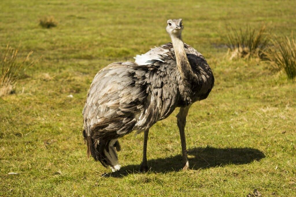 Brazil wildlife - Rhea