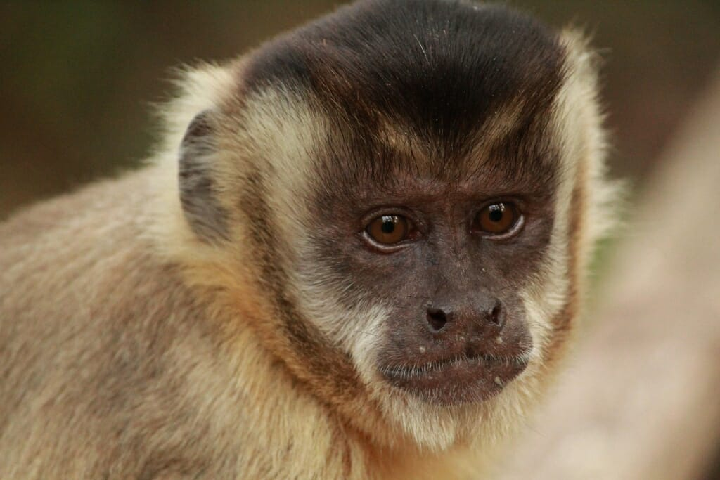 Animals that live in Brazil - Tufted capuchin