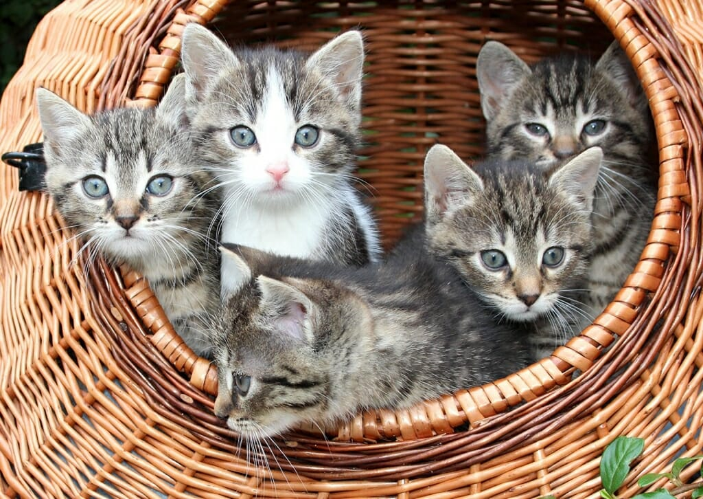 Name for a group of kittens is an intrigue of kittens