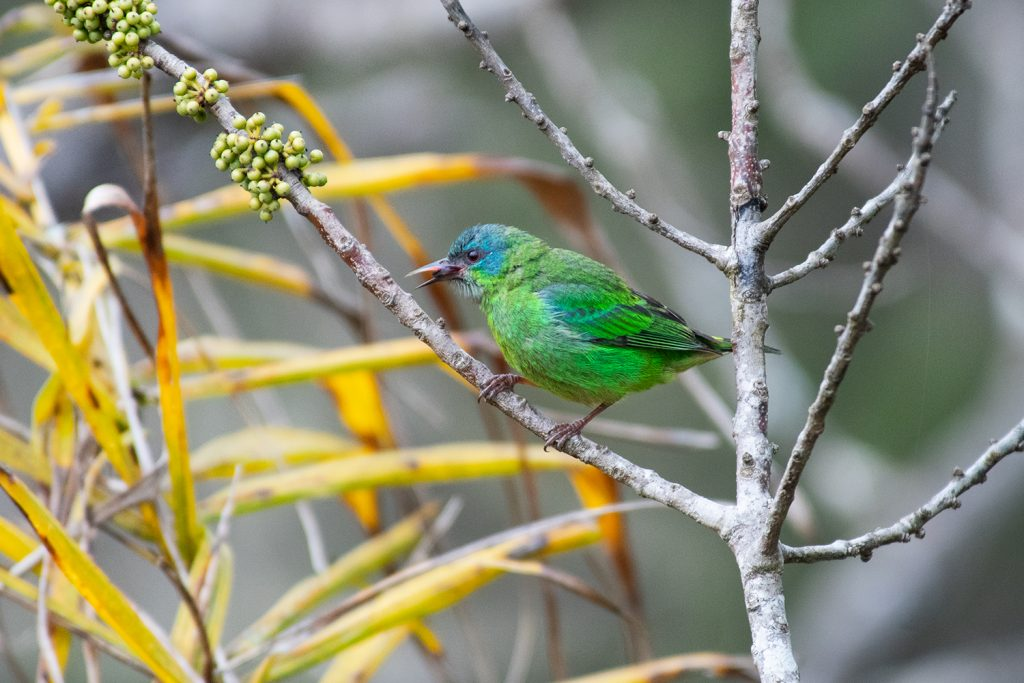 Blue dacnis at Caraca sanctuary