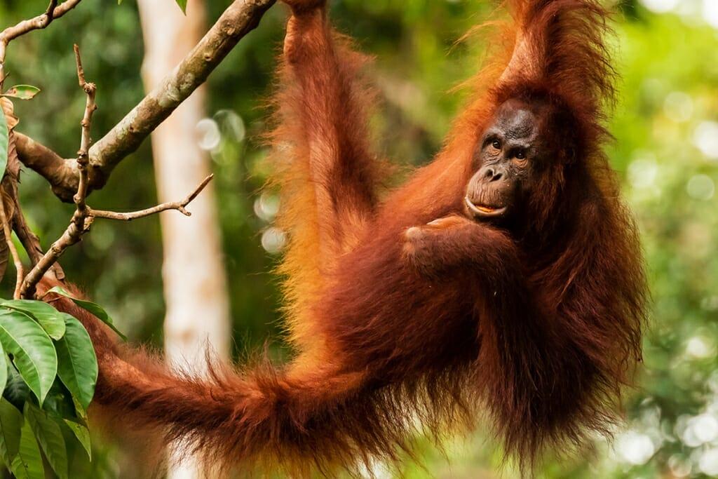 Borneo wildlife - orangutan