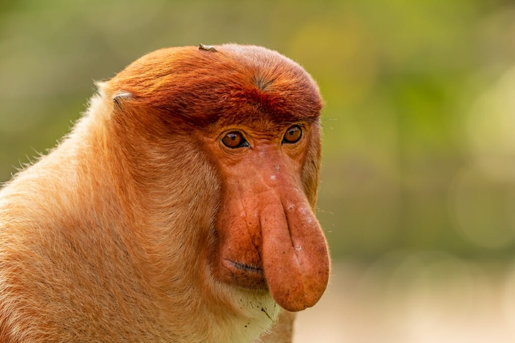 Borneo wildlife - Proboscis-monkey