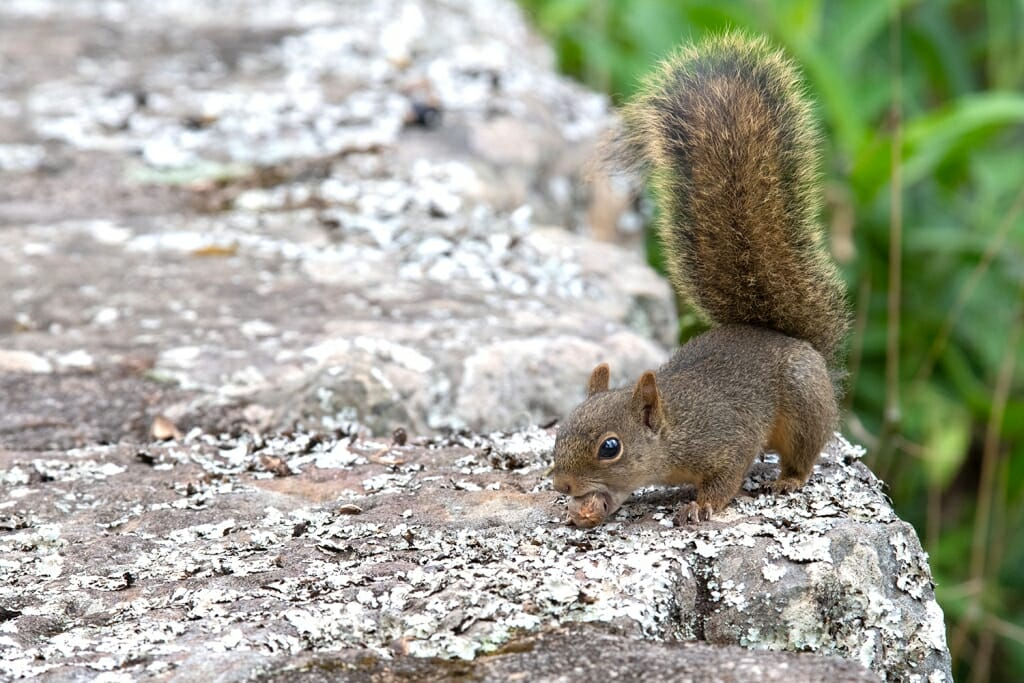 Brazilian squirrel at Santuario do caraca, Brazil