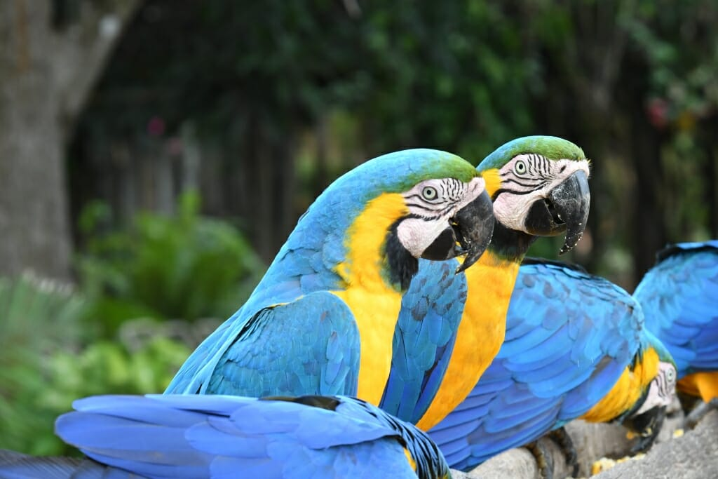 Collective nouns for animals - pandemonium of parrots
