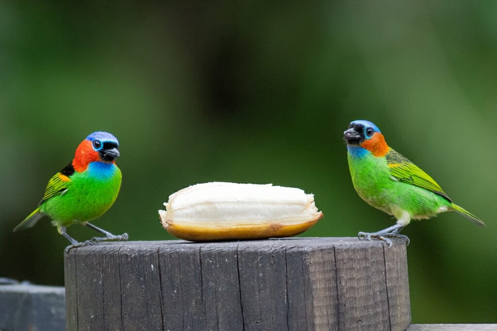 Red-necked tanagers Paraty