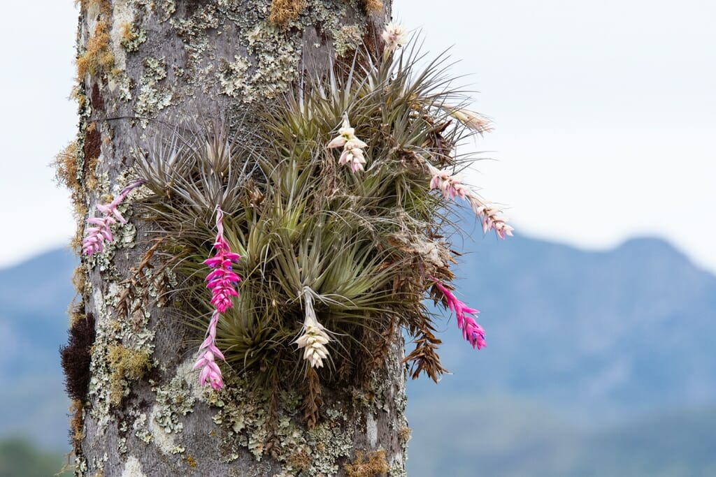 Epiphytes growing on a tree at Caraca
