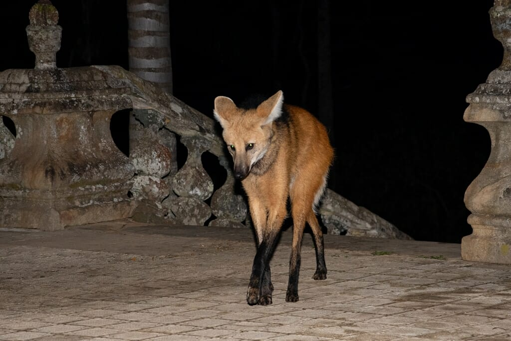 Maned wolf at Santuario do Caraca