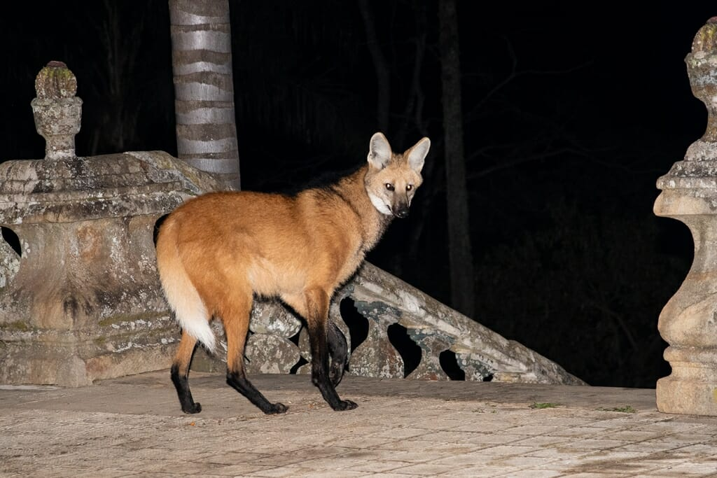 Maned wolf at Santuario do Caraca, Brazil