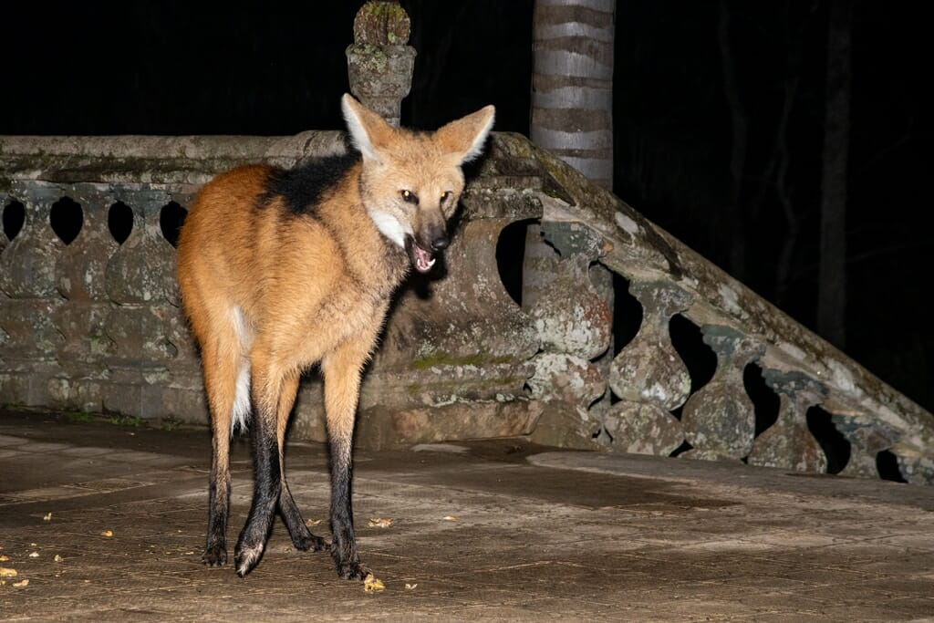Maned wolf feeding at Santuario do Caraca