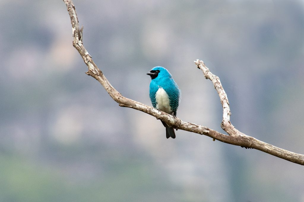 Swallow tanager at Caraca sanctuary