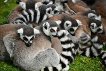 Collective nouns for animals - a conspirancy of lemurs