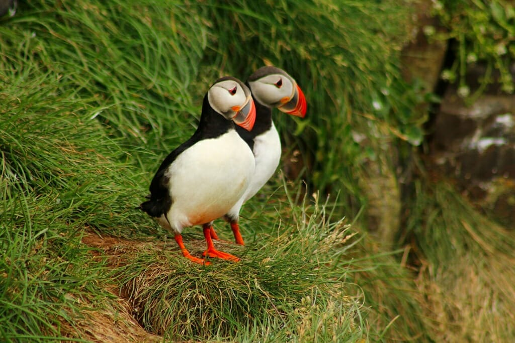 Atlantic puffins, Faroe Islands