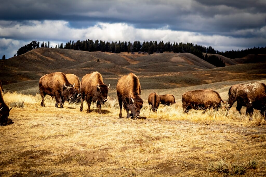 Safari Holidays - Bison in Yellowstone National Park