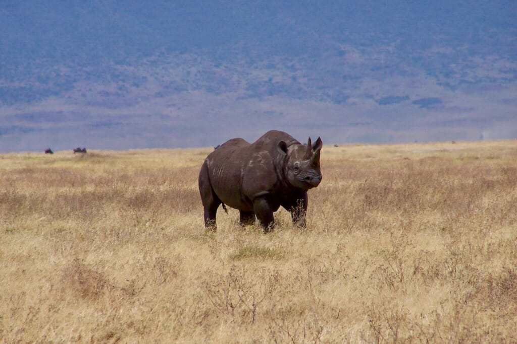 African safari holidays - Black rhino in Ngorongoro Crator