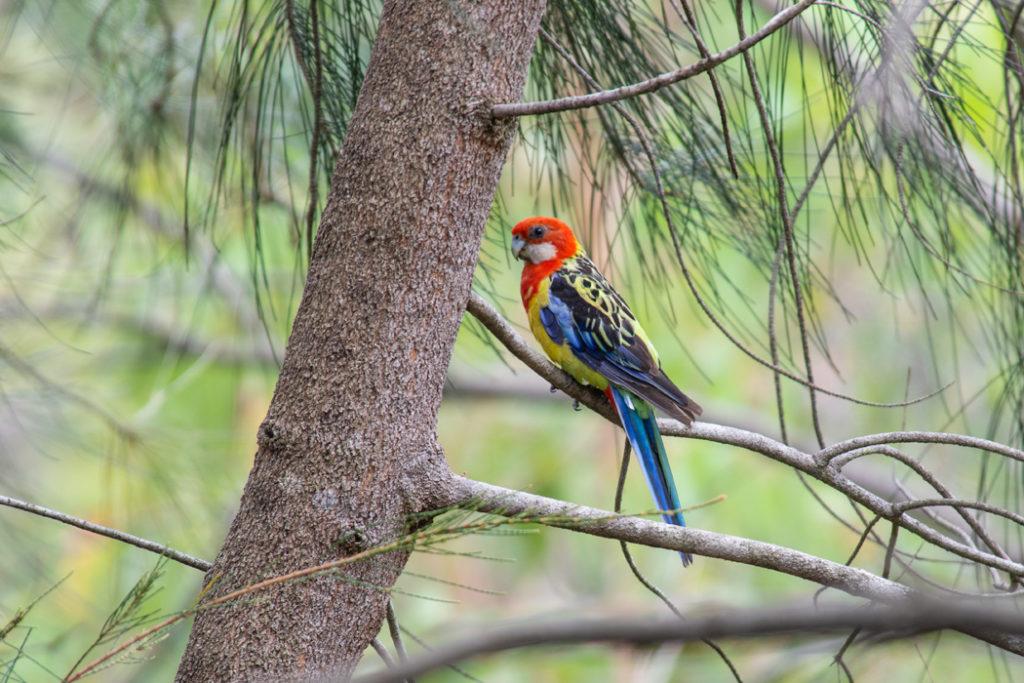 Australian parrots - Easern Rosella