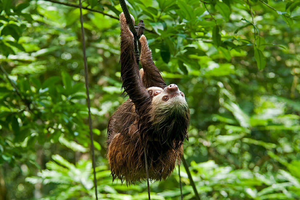 Wildlife watching destinations - Hoffman's two-toed sloth in Tirimbina Reserve, Costa Rica