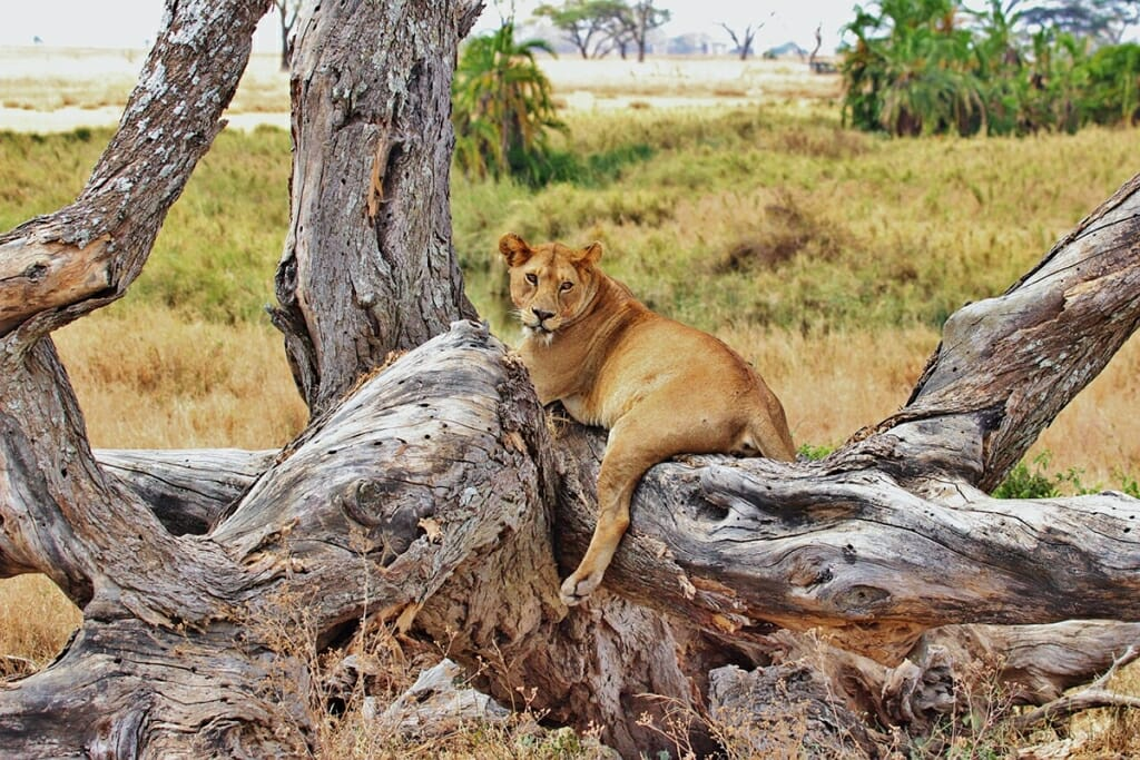 Lioness in Serengeti National Park