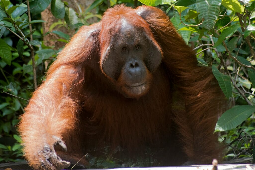 Male Borneo Orangutan in Tanjung Puting National Park