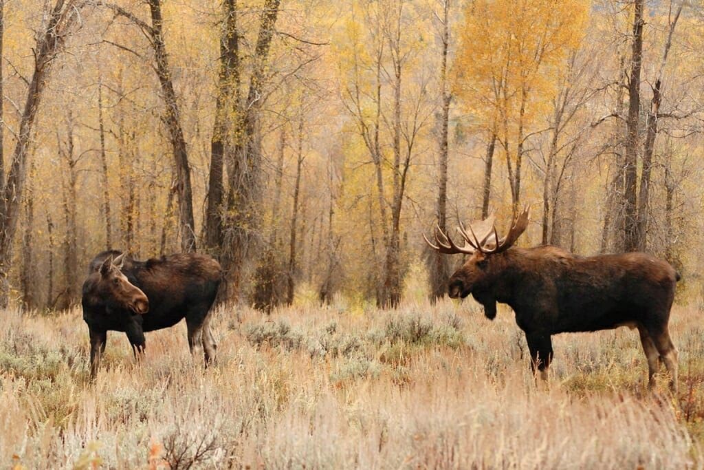 Male and female moose