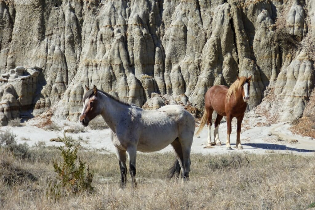 Mustangs in Theodore Rosevelt National Park