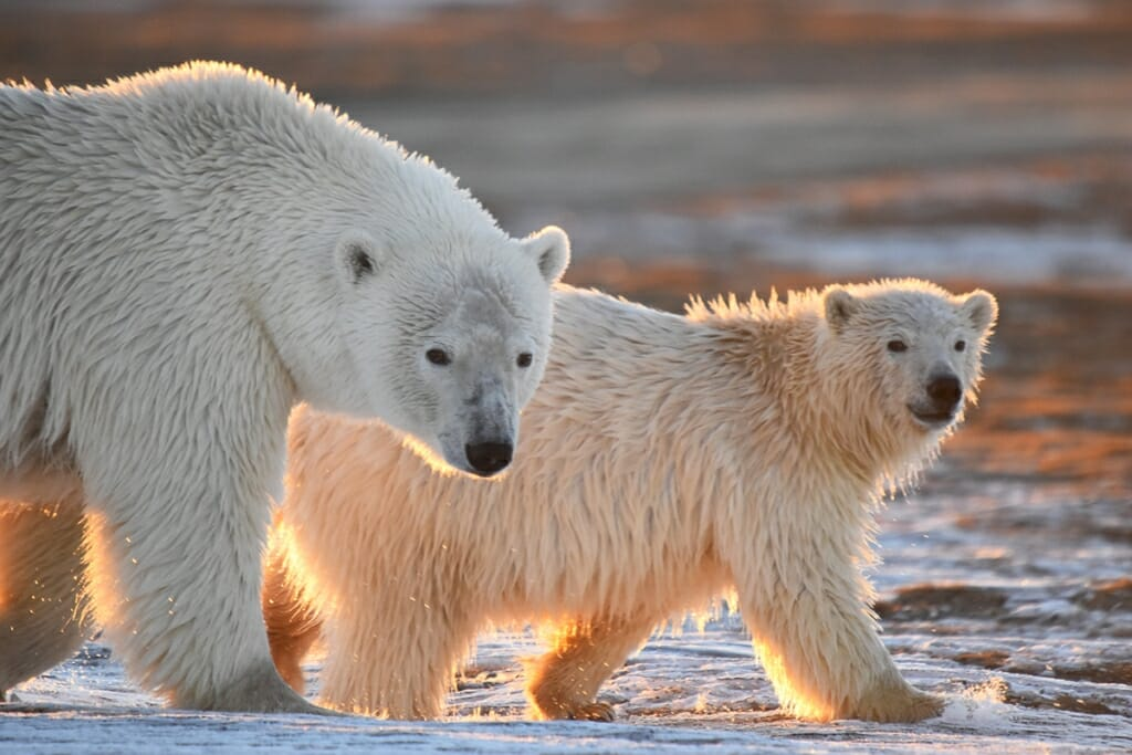 Safari Holidays - Polar bears in Kaktovic, National Park Obsessed