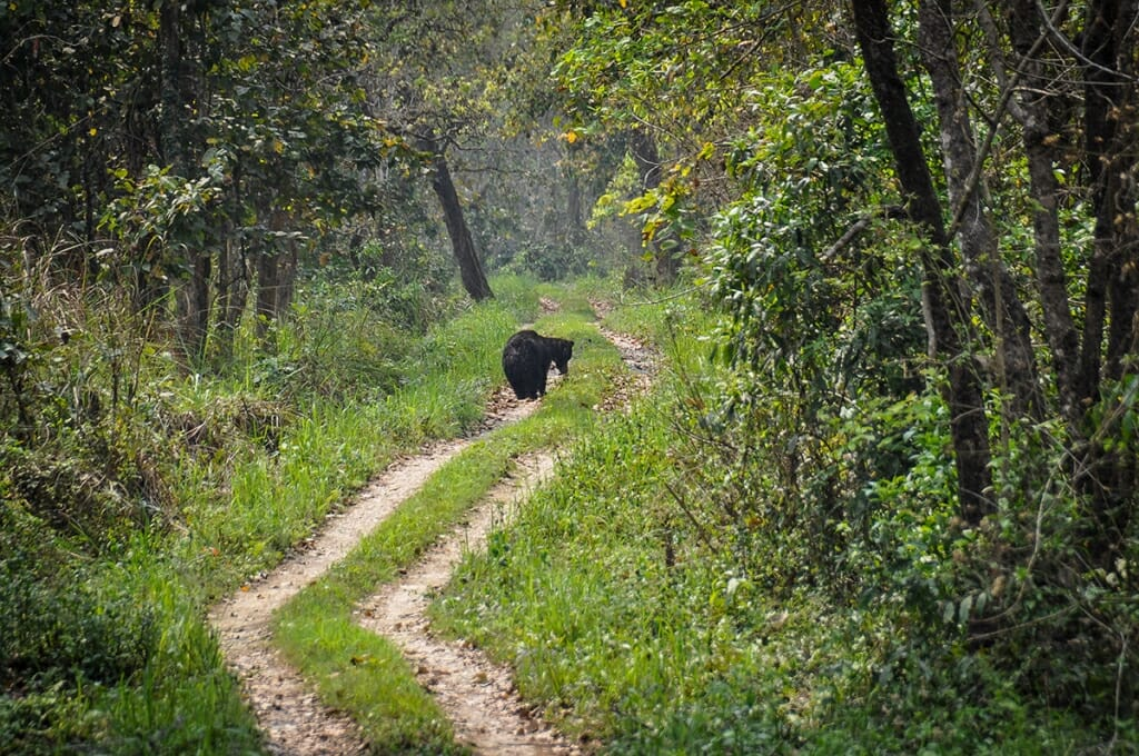 Sloth bear in Chitwan Naitonal Park