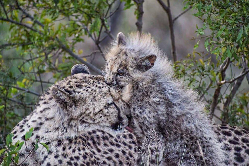 African safari - Cheetah with a cub at Pinda Game Reserve, South Africa