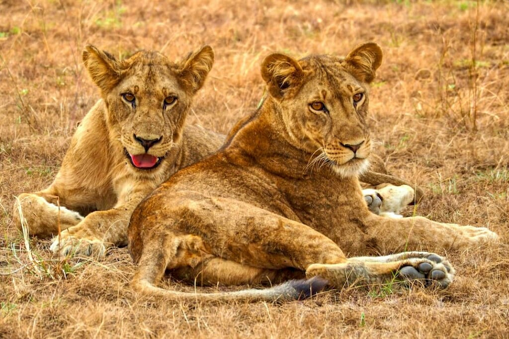 Lions in Queen Elizabeth National Park