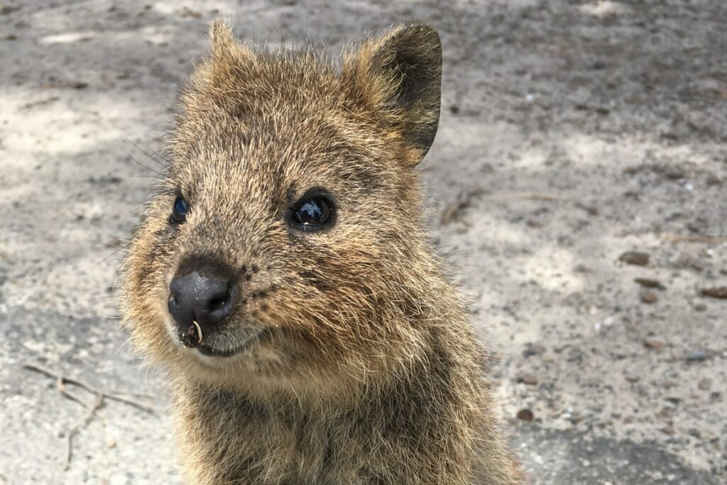 Quokka on Rottnest Island