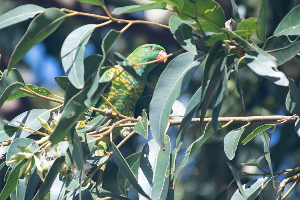 Scaly-breasted lorikeet, Sydney