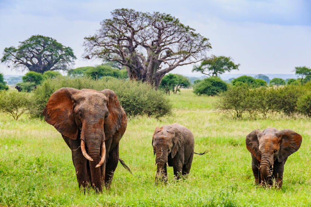 African safari - African elephants in Tarangire National Park