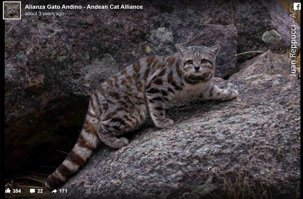Rarest wild cats - Andean mountain cat