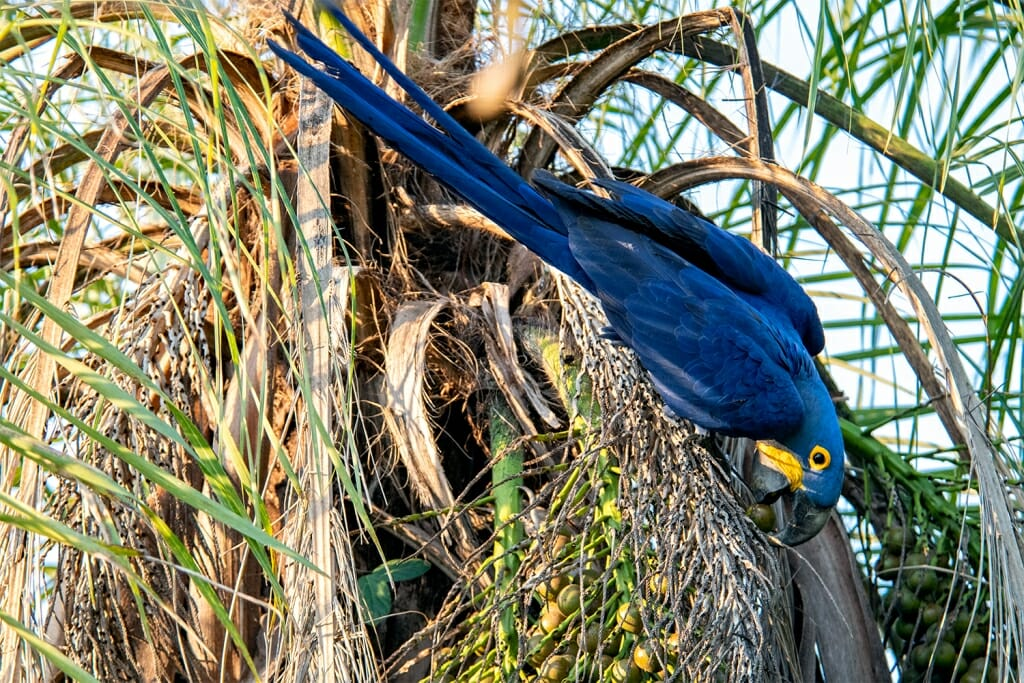 Brazil Holidays - Hyacinth macaw in the Pantanal