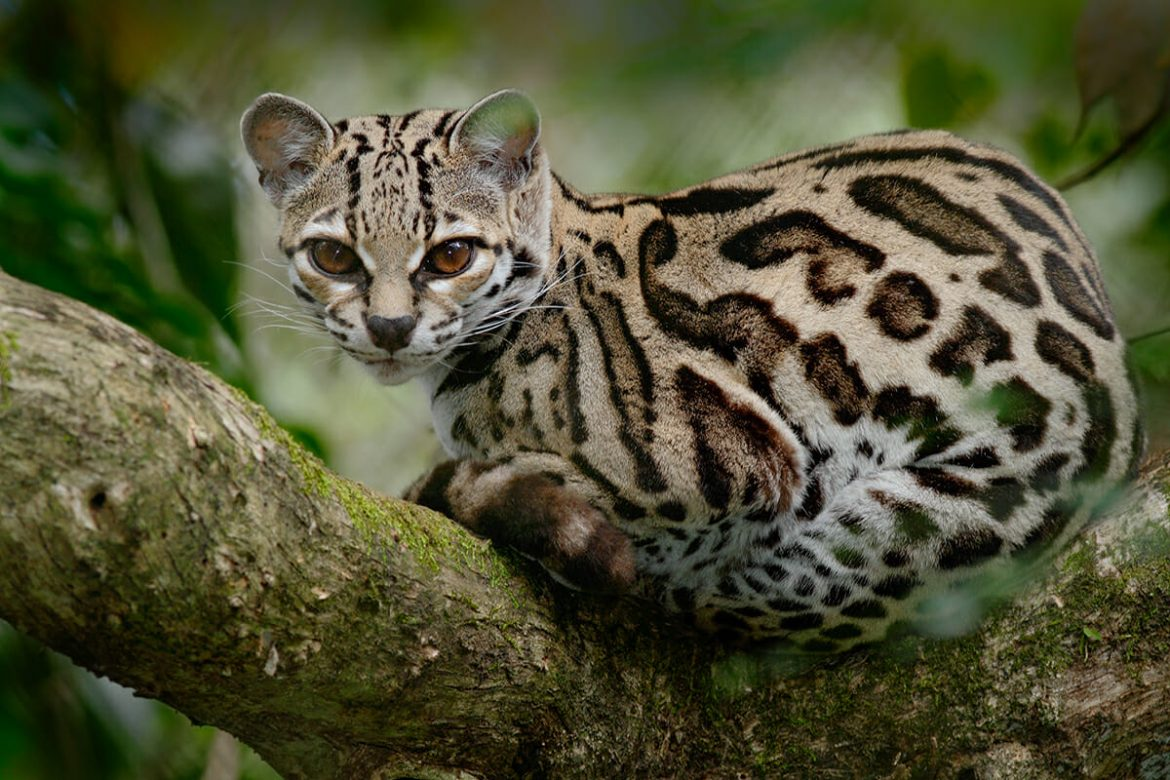 Marbay - small spotted cat of South America