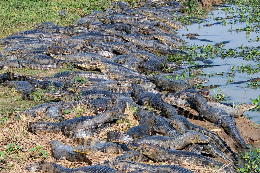Caimans baking in the sun along the Transpantaneira