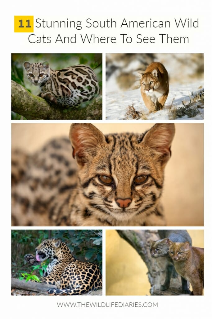 All species of South American Wild Cats and Where to See Them