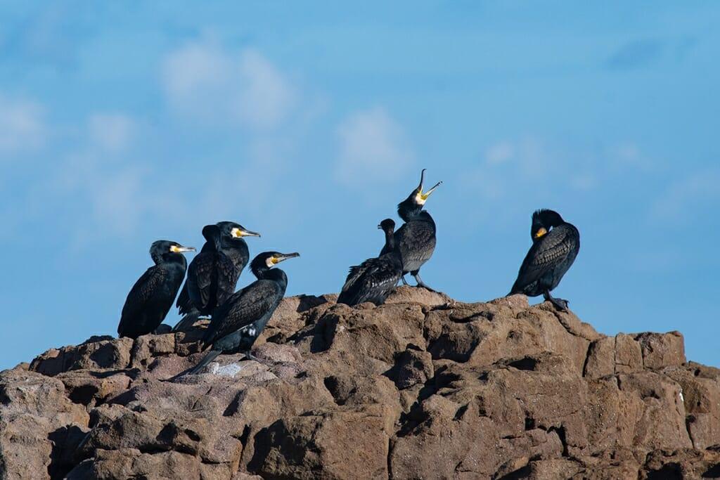 Great cormorants at Anna Bay