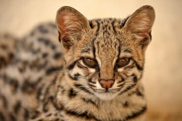 wild cats of south america - Oncilla
