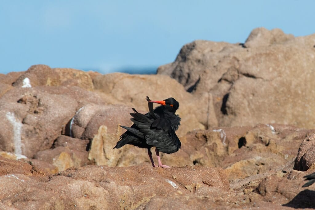 sooty oystercatcher preening on the rocks