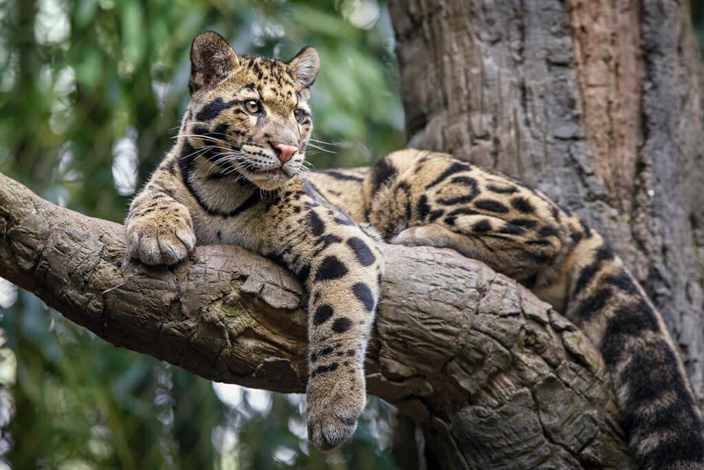 Smalles big cat - Clouded leopard