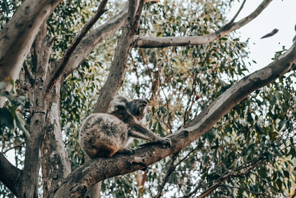 Koala on the Magnetic Island