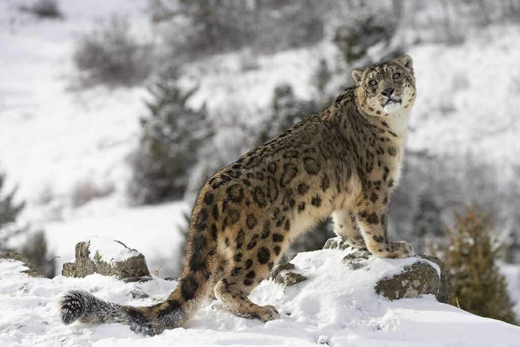 animals of bhutan - snow leopard