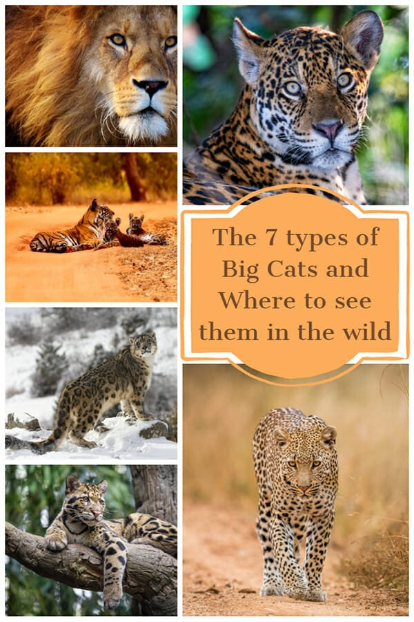 Seven types of big cats and where to see them in the wild