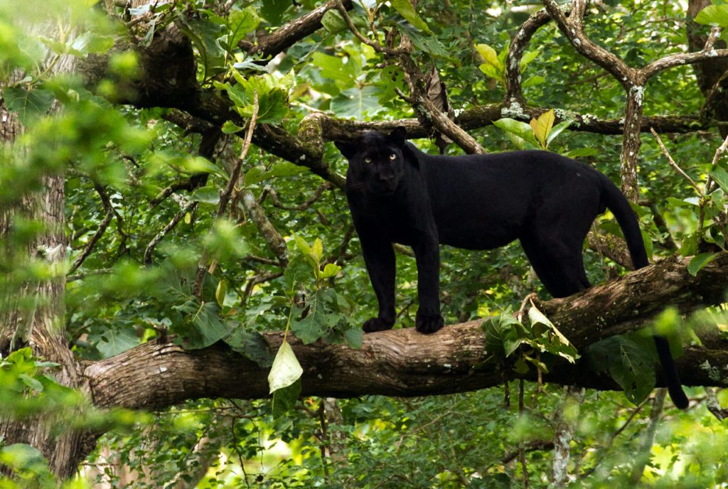 Black Indian leopard