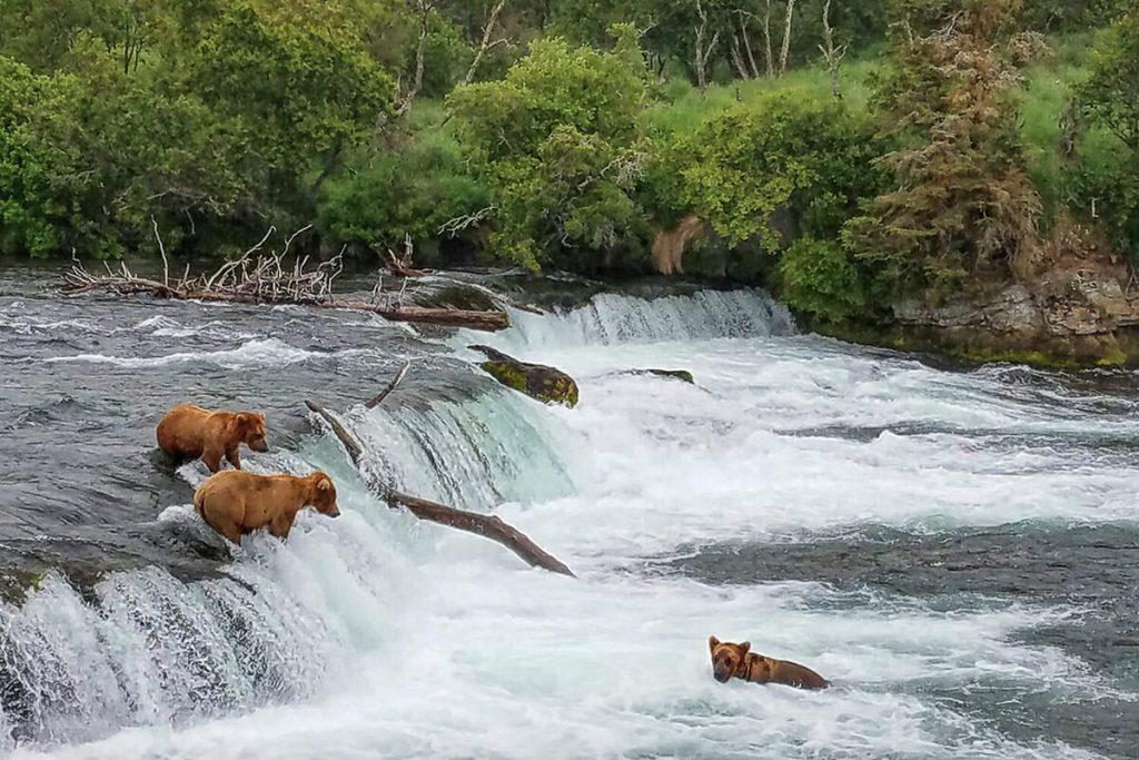 Brown bears at Brooks falls