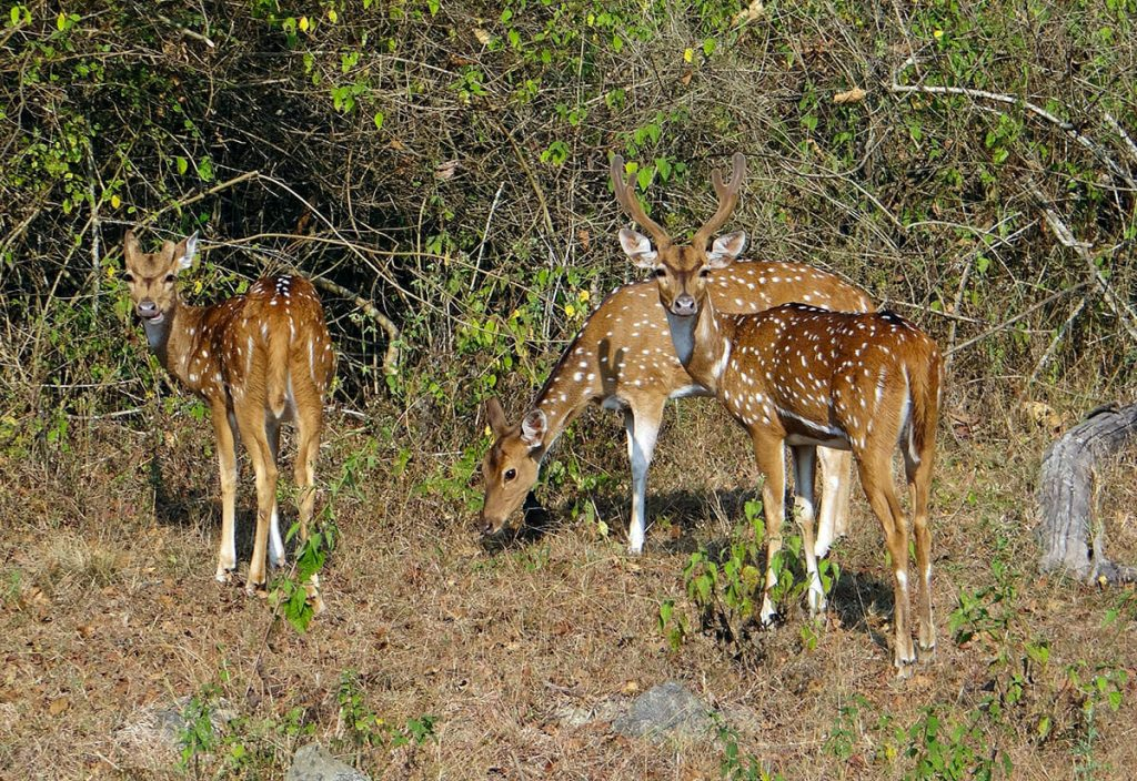 Chital in Phibsoo Wildlife Sanctuary