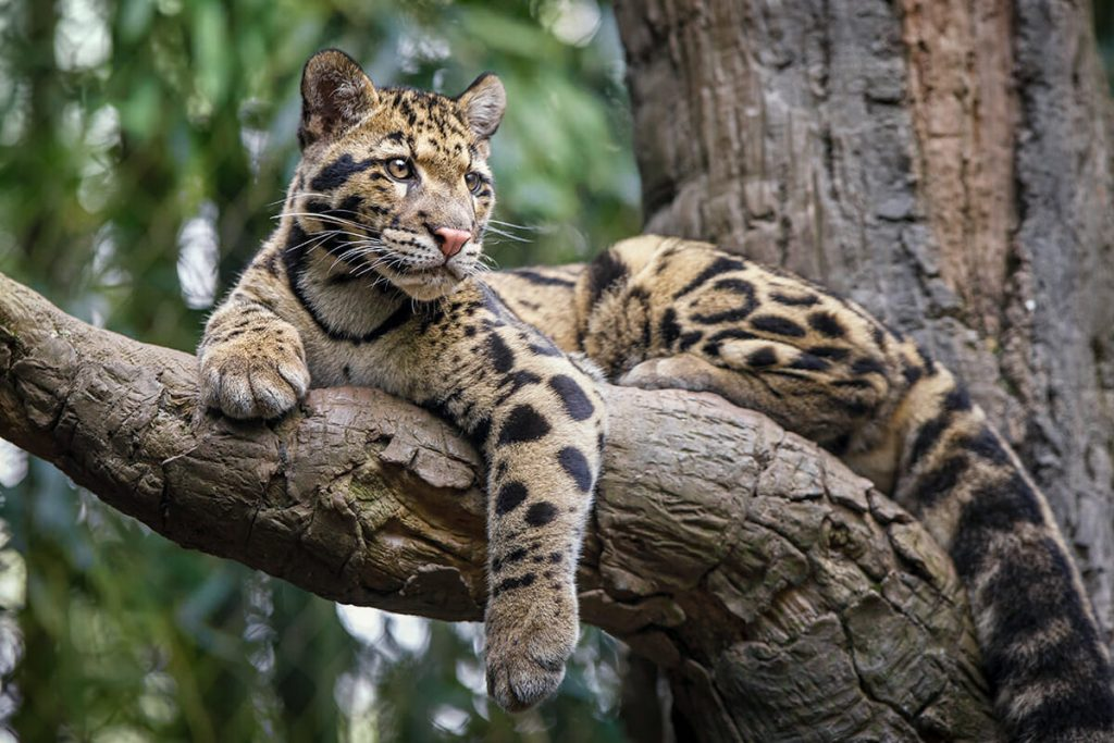 Bhutan wildlife - clouded leopard