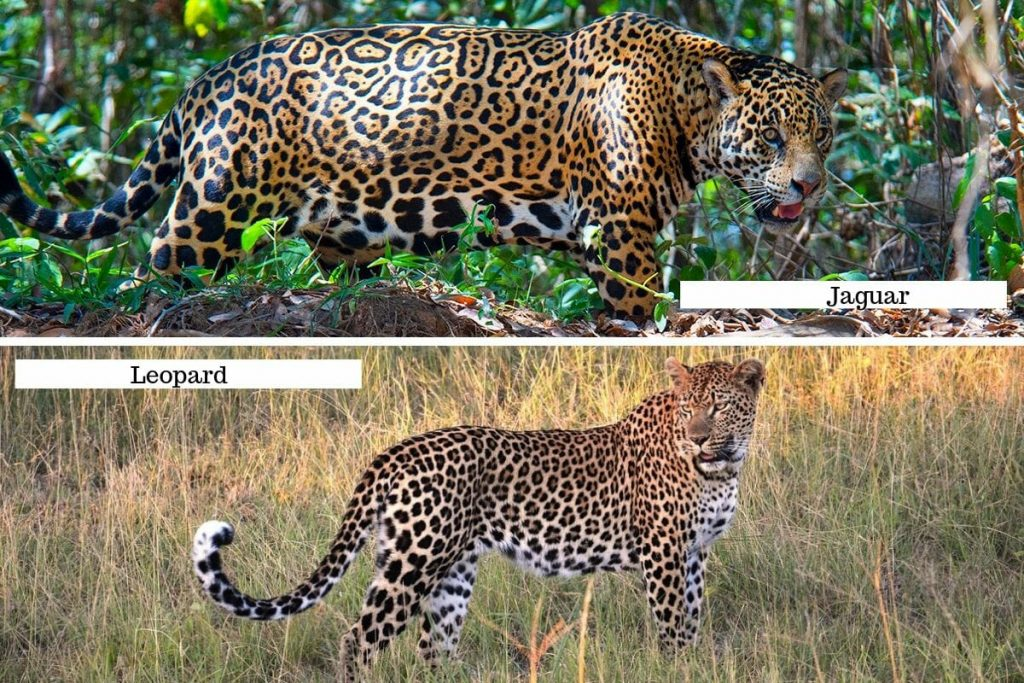 Jaguar vs Leopard Body Shape