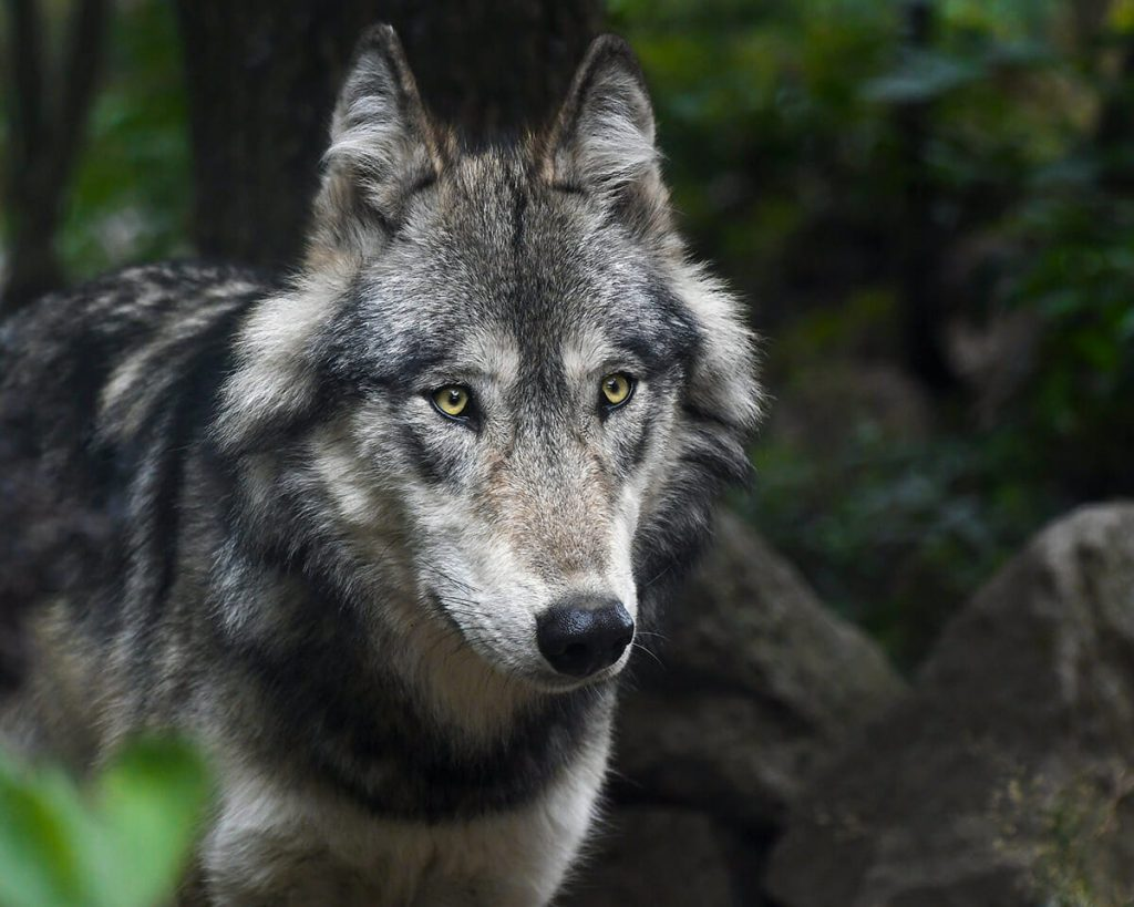 Wildlife in Bhutan - Grey wolf